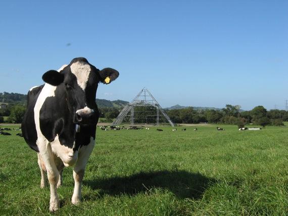 Image result for glastonbury cow