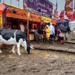 Lost cow@marketstalls